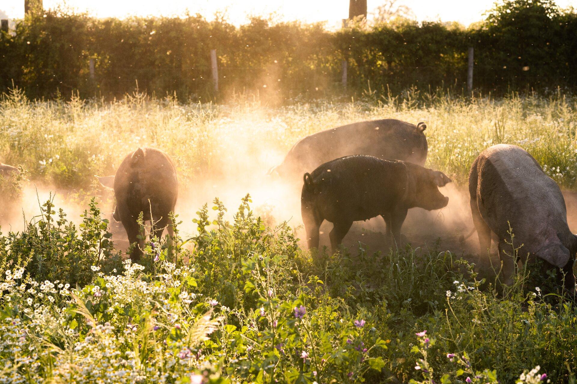 La historia que hay detrás de la carne de cerdo artesanal